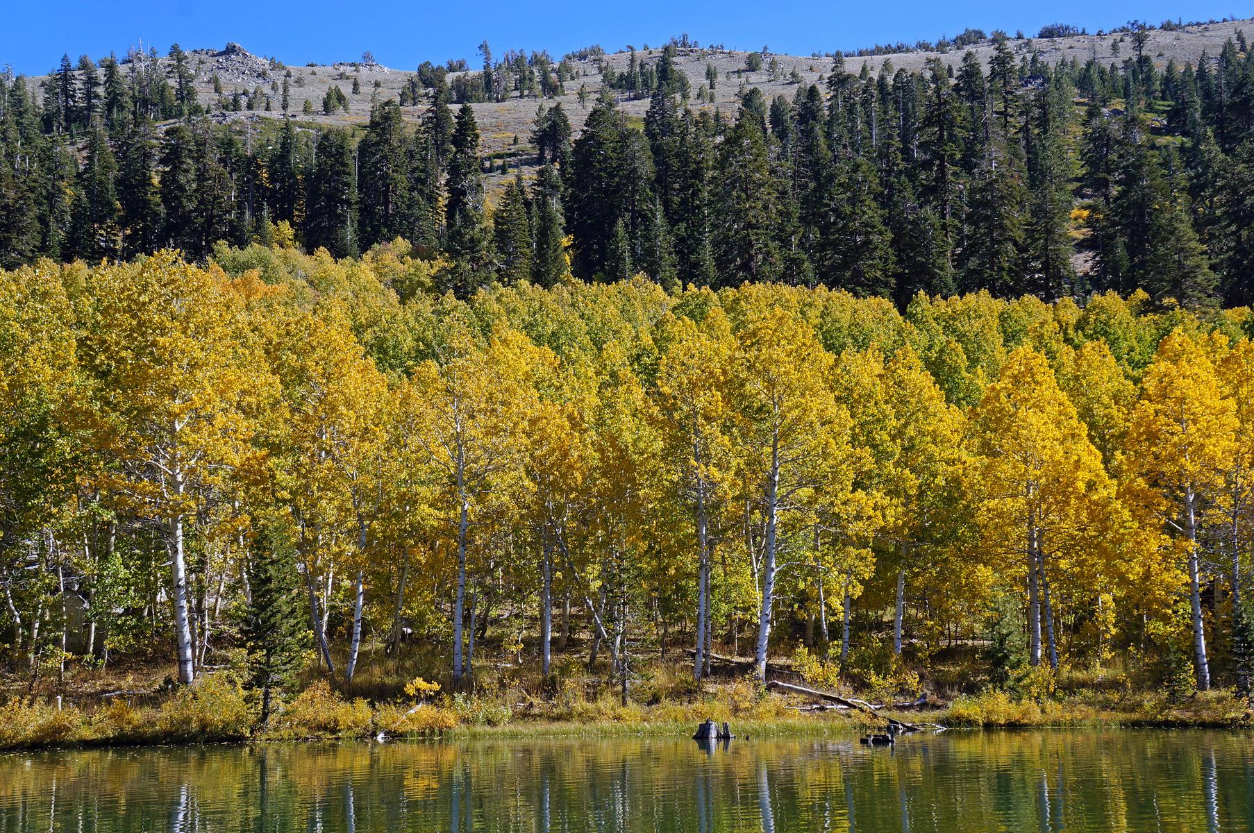 aspen along the shoreline of Marlette Lake, near Lake Tahoe, Nevada